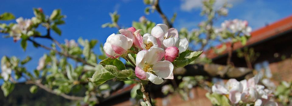 Apfelblüte-vorm-Haus