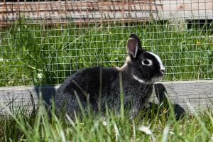 Kaninchen_Peter